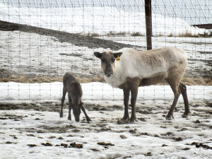 The first calf of the season and her mom live in a pen with other deer who have never calved before 2015. Photo by Jessica Herzog